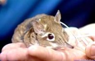 Cute-But-Mean-Little-Animal-the-Elephant-Shrew-on-Johnny-Carsons-Tonight-Show